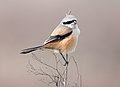 Long-tailed Shrike (6748734681).jpg