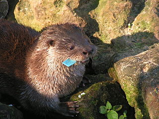 Neotropical otter A species of mammals belonging to the weasel, badger, otter, marten, mink, and wolverine family of carnivores