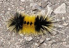 Lophocampa maculata wikimonde - Chenille jaune et noire danger ...