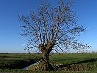Lopikerwaard.Tree.jpg