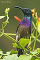 Loten's Sunbird Male.jpg
