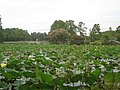 Lotus Garden in Va Beach - panoramio.jpg