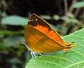 Loxura atymnus - Yamfly 04.JPG