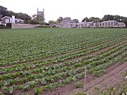 Vegetable crop south of Ludgvan