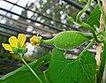 Luffa operculata 02.JPG