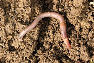 Invasive earthworms of North America