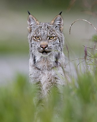 Canada lynx - A close facial view of the Canada lynx. The black ear tufts are characteristic of lynxes.