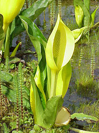 Lysichiton americanus1