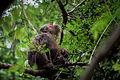 Macaca arctoides, Stump-tailed macaque - Kaeng Krachan National Park (23292673934).jpg
