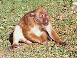 Macaca assamensis m창le