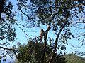 Macaque berbère à Ziama Mansouriah 18 (Algérie).jpg