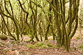 Madeira - Fonte do Bispo - bay-laurel trees (24550847311).jpg