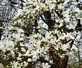 Magnolia cylindrica 2 Botanical Garden Heidelberg.JPG