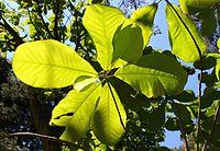 Magnolia officinalis Rogów
