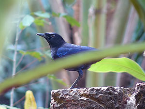 Malabar whistling thrush - Adult (Kannur, India)