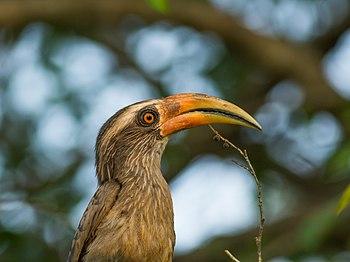 Malabar Grey Hornbill-9032.jpg