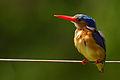 Malachite Kingfisher - Portrait.jpg