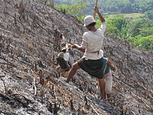 Several people (with a woman in the foreground) planting rice on a hillside that has been charred by fire.