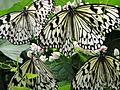 Malaysia - Penang Butterfly Gardens - 06 (5208960948).jpg