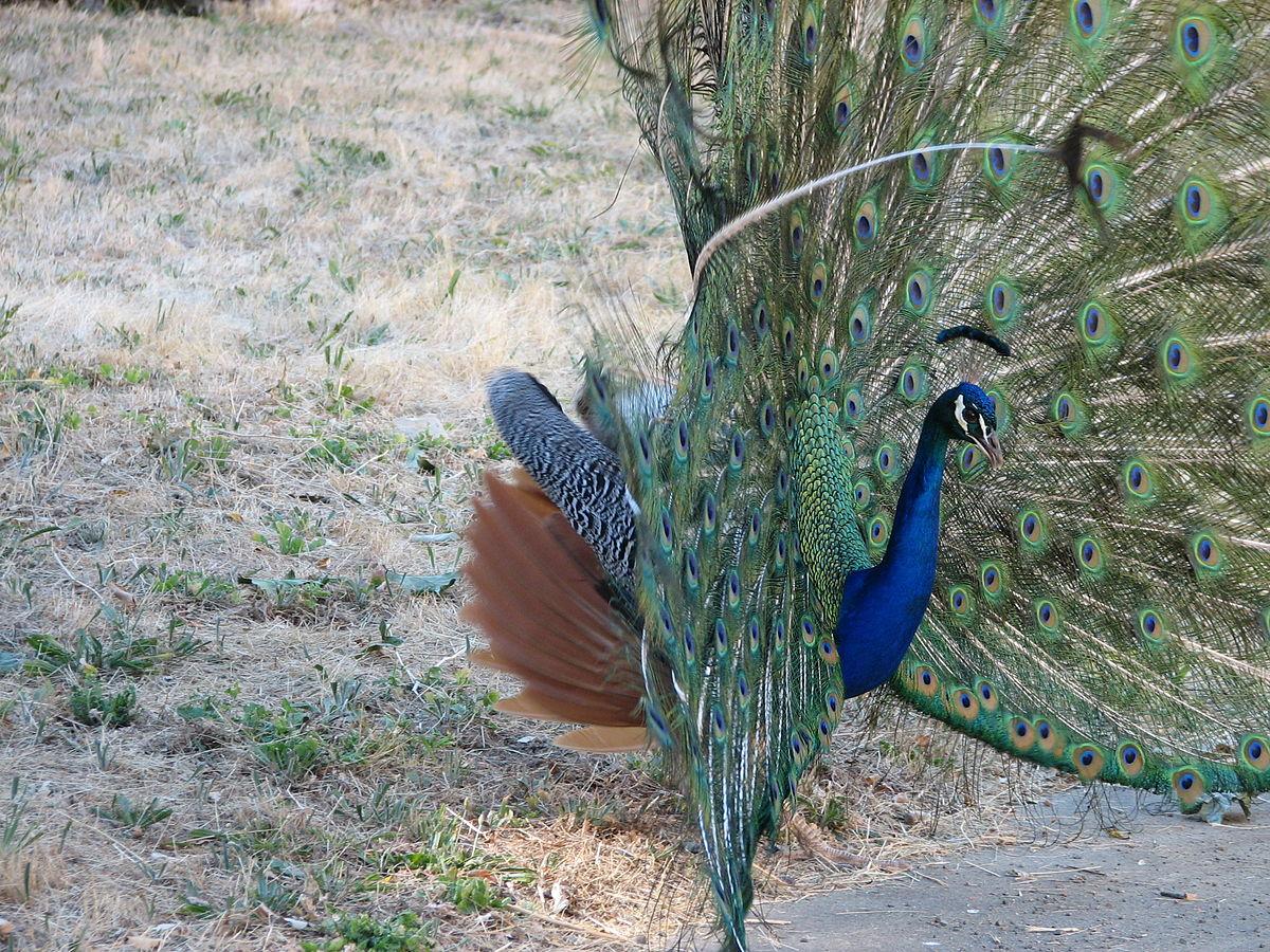 Le Paon Qui Fait La Roue fichier:male peacock with feathers — wikipédia
