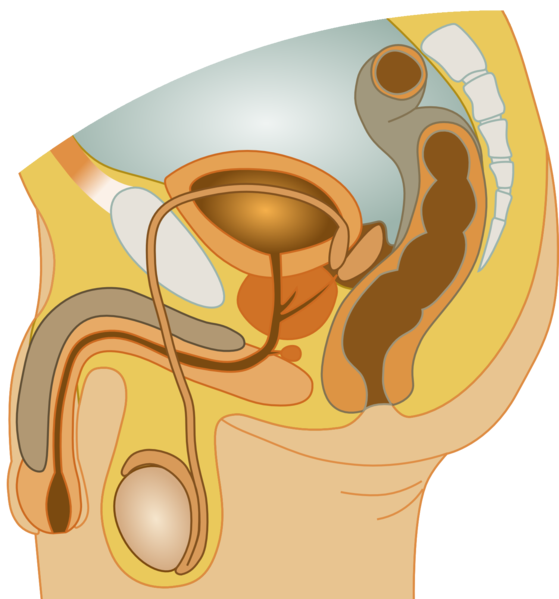 File:Male reproductive system.png
