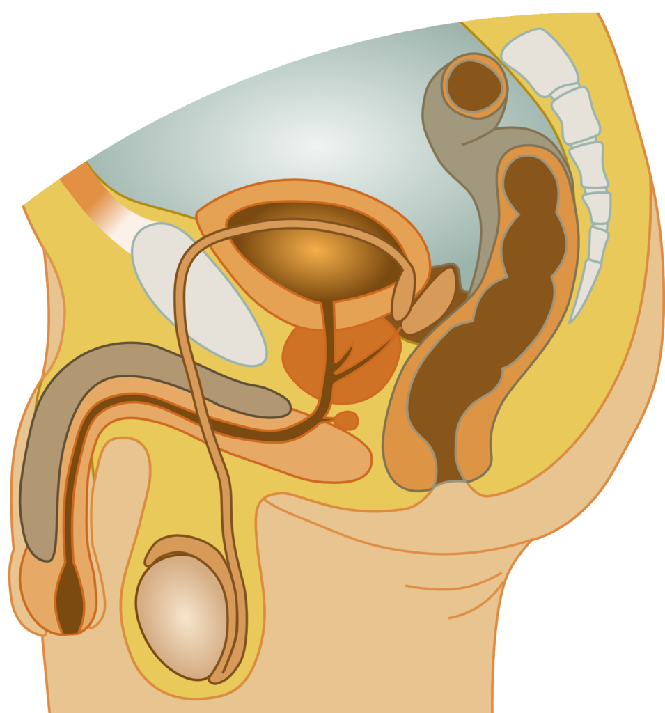 File:Male reproductive system.png - Wikimedia Commons