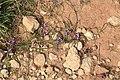 Malta - Marsaxlokk - Triq Delimara - Xrobb L-Ghagin - Romulea columnae 01 ies.jpg