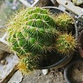 Mammillaria tetrancistra (fishhook cactus).jpg