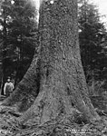 Man standing next to base of a spruce tree (3492738982).jpg