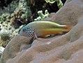 Manado 3-12-11 - 23 freckled hawkfish (6567957987).jpg