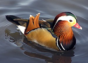 A male Mandarin Duck at Slimbridge Wildfowl an...