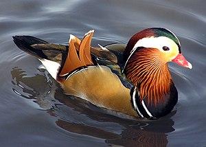 "Preening (bird) - During courtship, drake Mandarin ducks ritually preen their distinctive orange ""sail"" feathers."