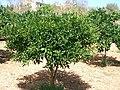 Mandariner Citrus deliciosa.jpg