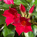 Mandevilla sanderi red 2.jpg