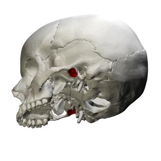 Mandibular fossa - Left temporal bone. Outer surface. (Mandibular fossa labeled at left, third from the top.)