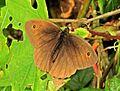 Maniola jurtina (Meadow brown) male, Vrouwenpolder, the Netherlands.jpg