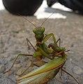Mantis104.jpg