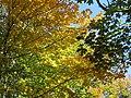 Maples (6189663050).jpg