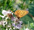 Marbled Fritillary. Brenthis daphne. - Flickr - gailhampshire (1).jpg