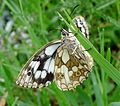 Marbled White Female. (15958612040).jpg