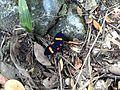 Mariposa traicionera en Buga.JPG