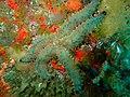 Marthasterias africana 15745130.jpg