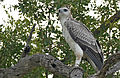 Martial Eagle (Polemaetus bellicosus) juvenile (17328130702).jpg