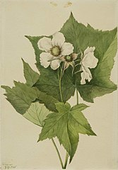 White Flowering Raspberry (Rubus parviflorus)