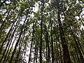 Masinagudi habitat Silver Oak Grevillea robusta IMG 20180505 124251853.jpg