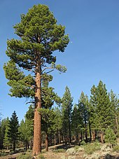 A stand of evergreen trees grow on a hillside. Their trunks, reddish and straight, aim toward a cloudless blue sky.