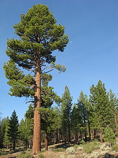 species of plant, Jeffrey Pine