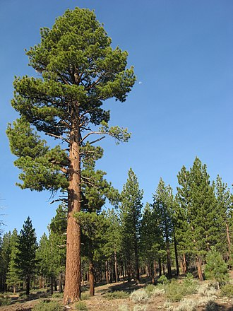 Pinus jeffreyi - A stand of Pinus jeffreyi growing on volcanic table lands south of Mono Lake, California