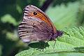 Meadow brown butterfly (Maniola jurtina) male underside, Wolvercote Lakes, Oxford.jpg