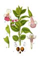 Melittis melissophyllum cleaned Sturm.png